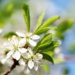 trnka v rozkvete
