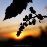 východ slnka vo viniciach