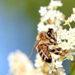 neúnavná včela
